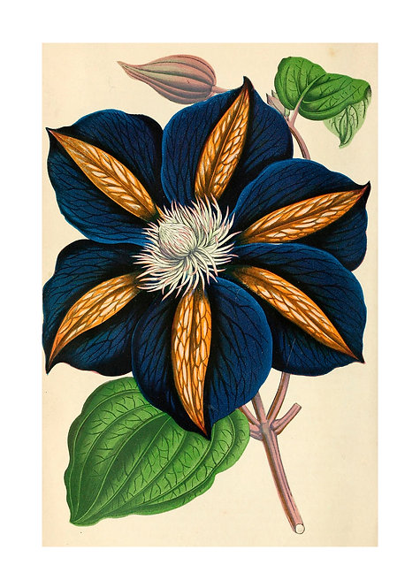 Clematis, Star of India, Card