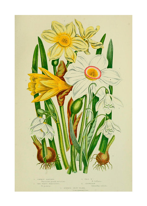 Common Daffodil Poet Narcissus Notecard