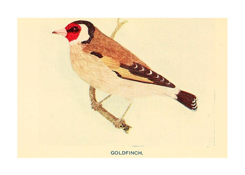 Goldfinch Illustration Notecard