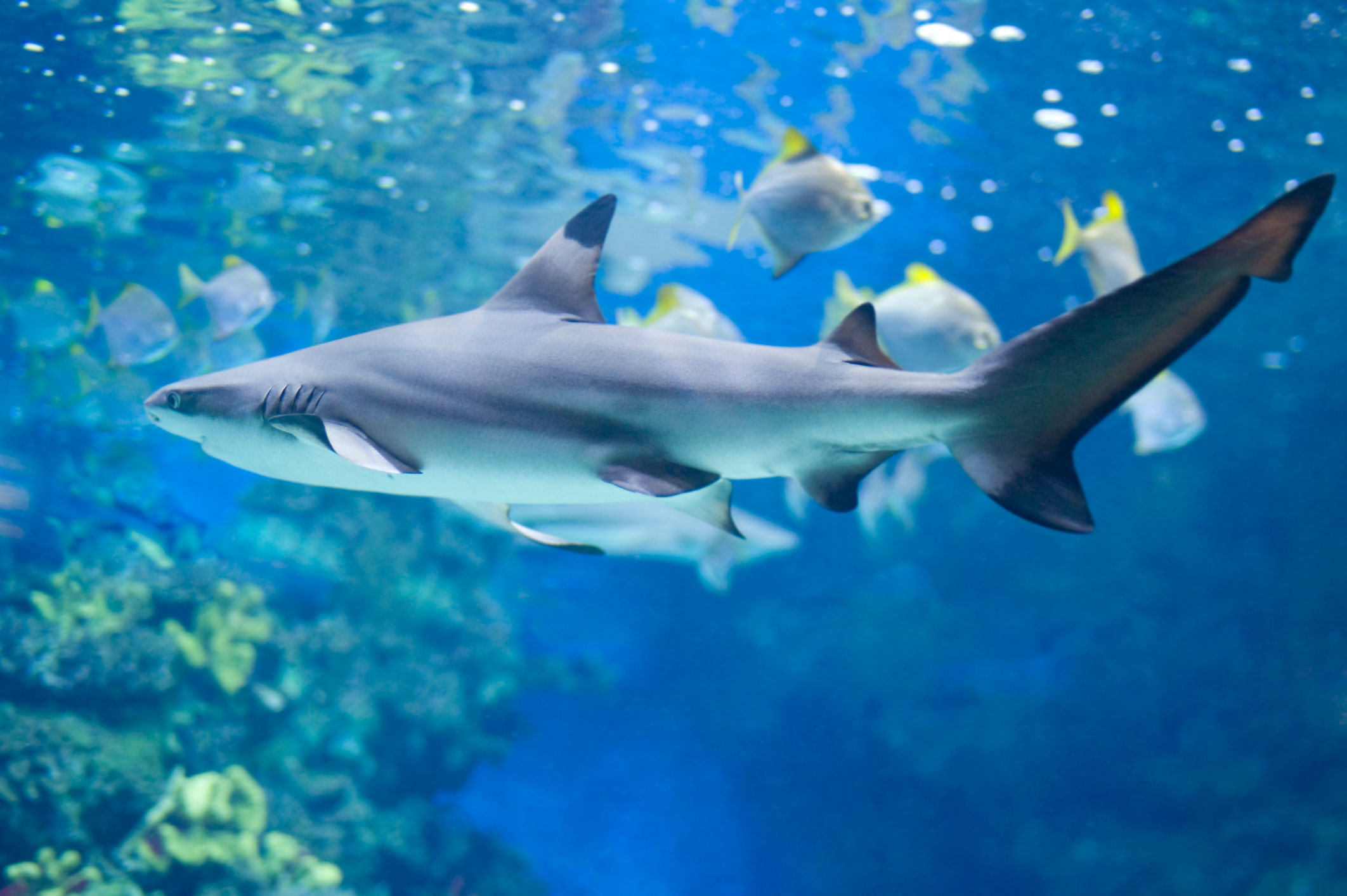 saveoursharks | Endangered Sharks