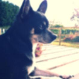Ruby the Chihuahua
