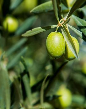 olives-tree