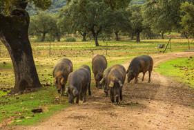 spanish-pigs-nature