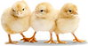 61-612803_baby-chicken-transparent-png-b