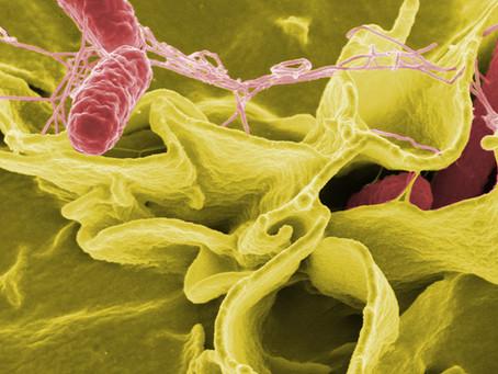Consumo de fibra alimentar participa da proteção contra a salmonelose