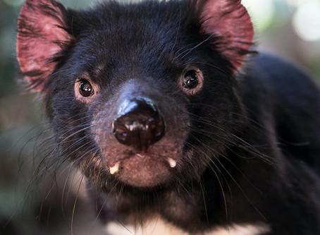 O curioso câncer do Diabo da Tasmânia pode ajudar contra o câncer humano