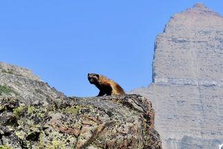 Wolverine on Piegan Pass