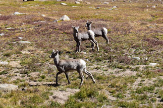 Baby Bighorns