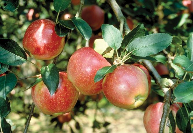 りんご酢飲料の原料