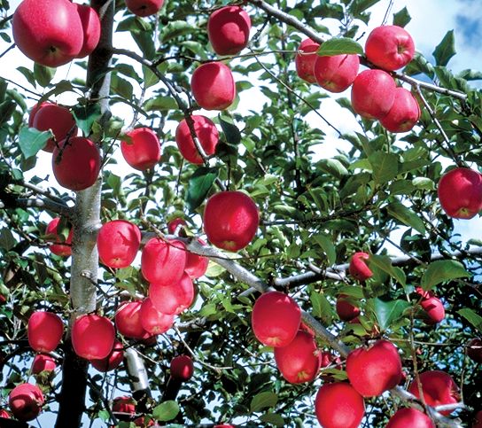 りんごとパイ技術の還元力