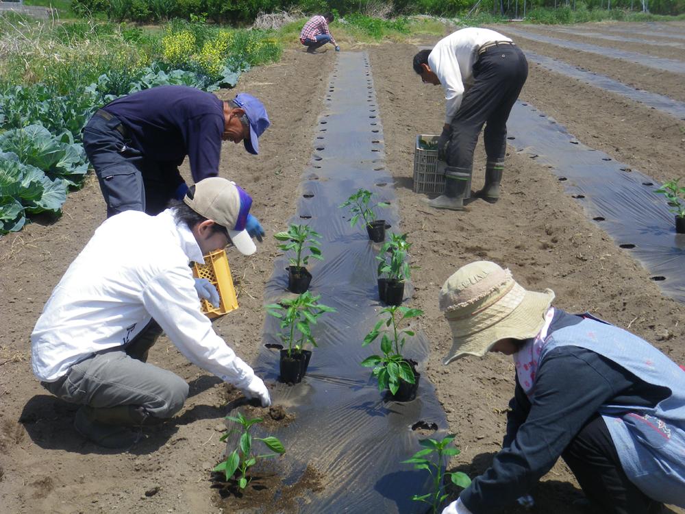 丹精込めて野菜苗の植え付け