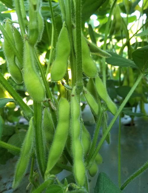 還元力抜群 美味しい枝豆