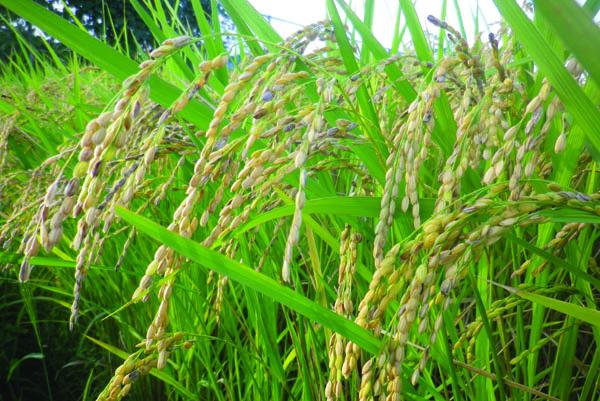原料は農薬不使用の玄米