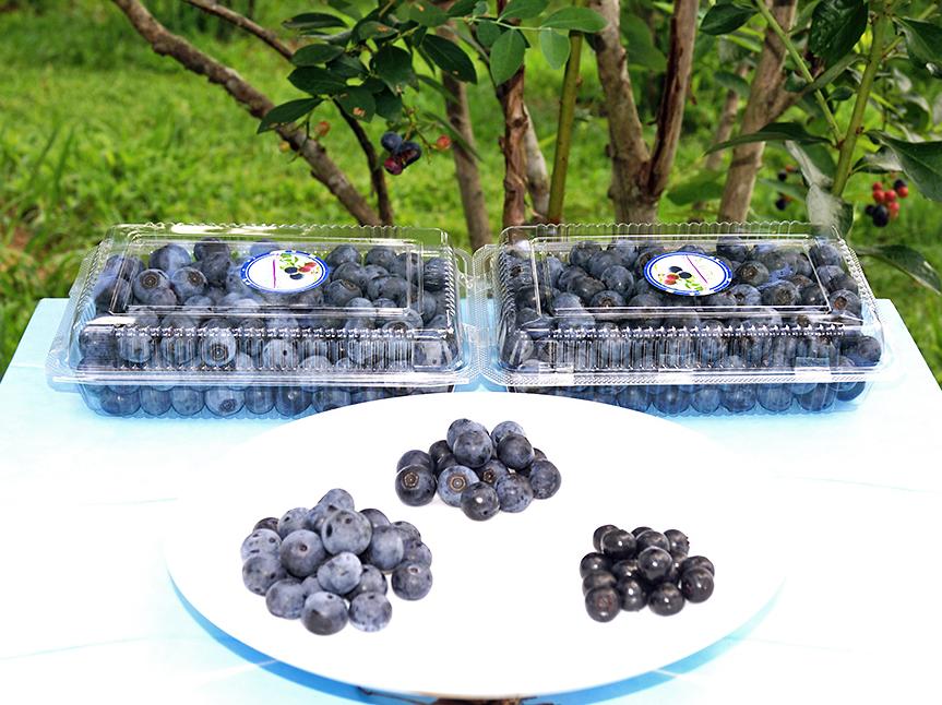 無農薬栽培のブルーベリー