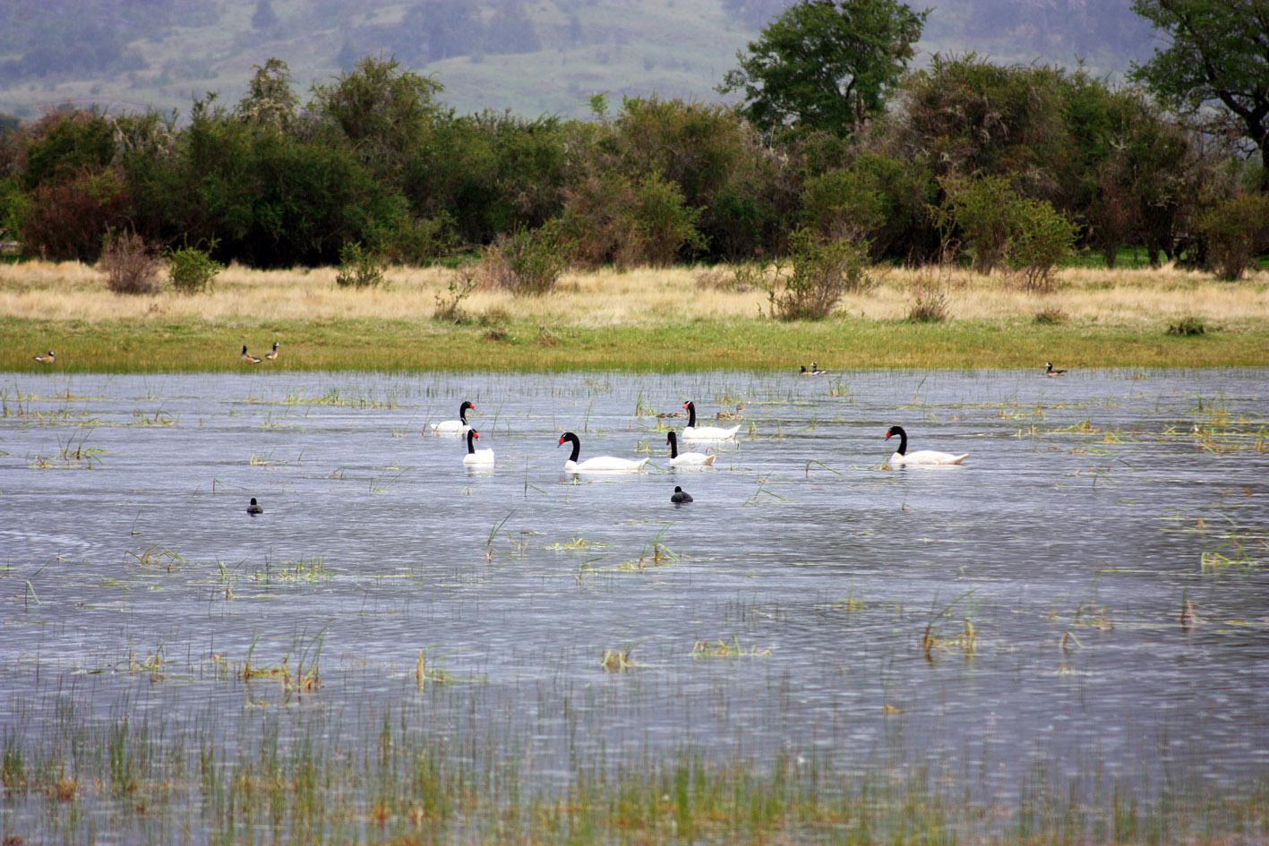 Cisnes de Cuello Negro y Patos.