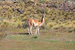 Huanaco, Valle Chacabuco.