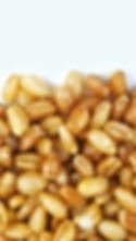 Cooked Wheatberry--Barley Blend (Zoomed)