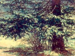 December Snow Pine