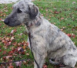 Irish Wolfhound female
