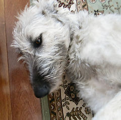 Irish Wolfhound female