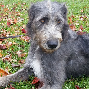 Irish Wolfhound dam