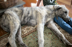 Irish Wolfhound male