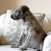 wolf hound puppy.jpg