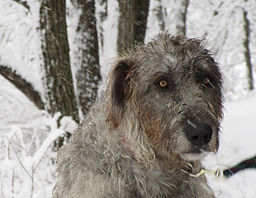 Irish Wolfhound sire