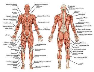 posters-3d-menselijke-man-anatomie-met-s