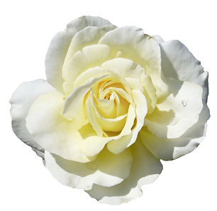 bigstock-beautiful-white-yellow-rose-is-