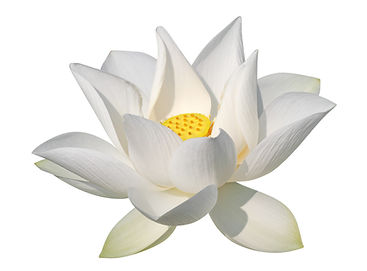 bigstock-White-lotus-isolated-clippin-21