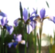 bigstock-Iris--summer-landscape-65817034