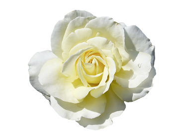 bigstock-beautiful-white-yellow-rose-is-
