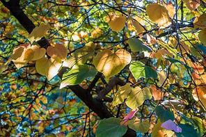 bigstock-Backlit-Autumn-Leaves-105236603