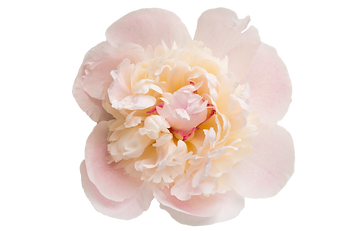 bigstock-Peony-Pink-Flower-Isolated-On-3