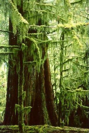 mossy ancient cedar.jpg