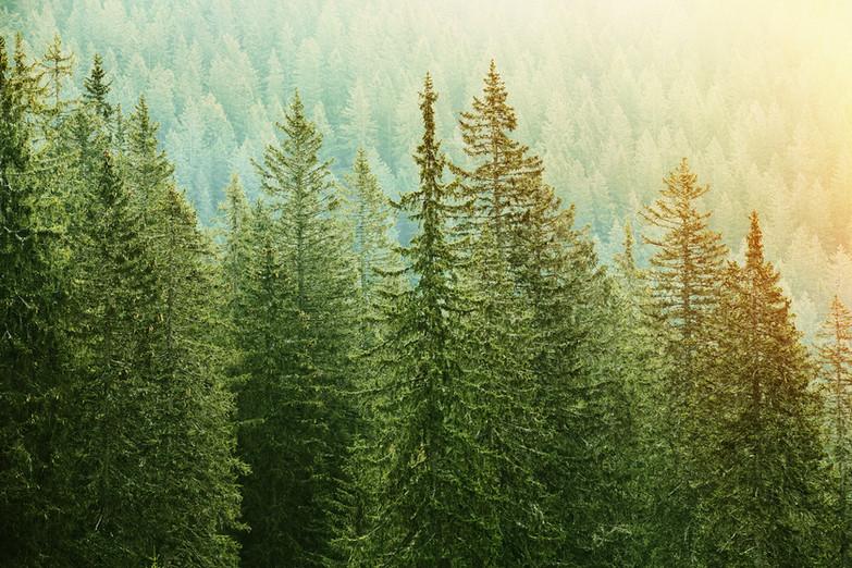bigstock-Green-Coniferous-Forest-Lit-By-