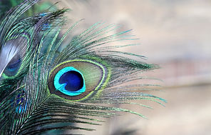 bigstock-Blue-Green-Peacock-Feather-6622