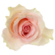 bigstock-Pink-rose-isolated-over-white--