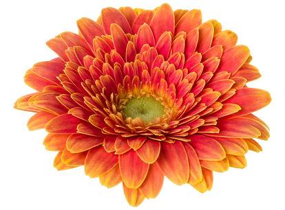 bigstock-orange-gerbera-flower-head-iso-