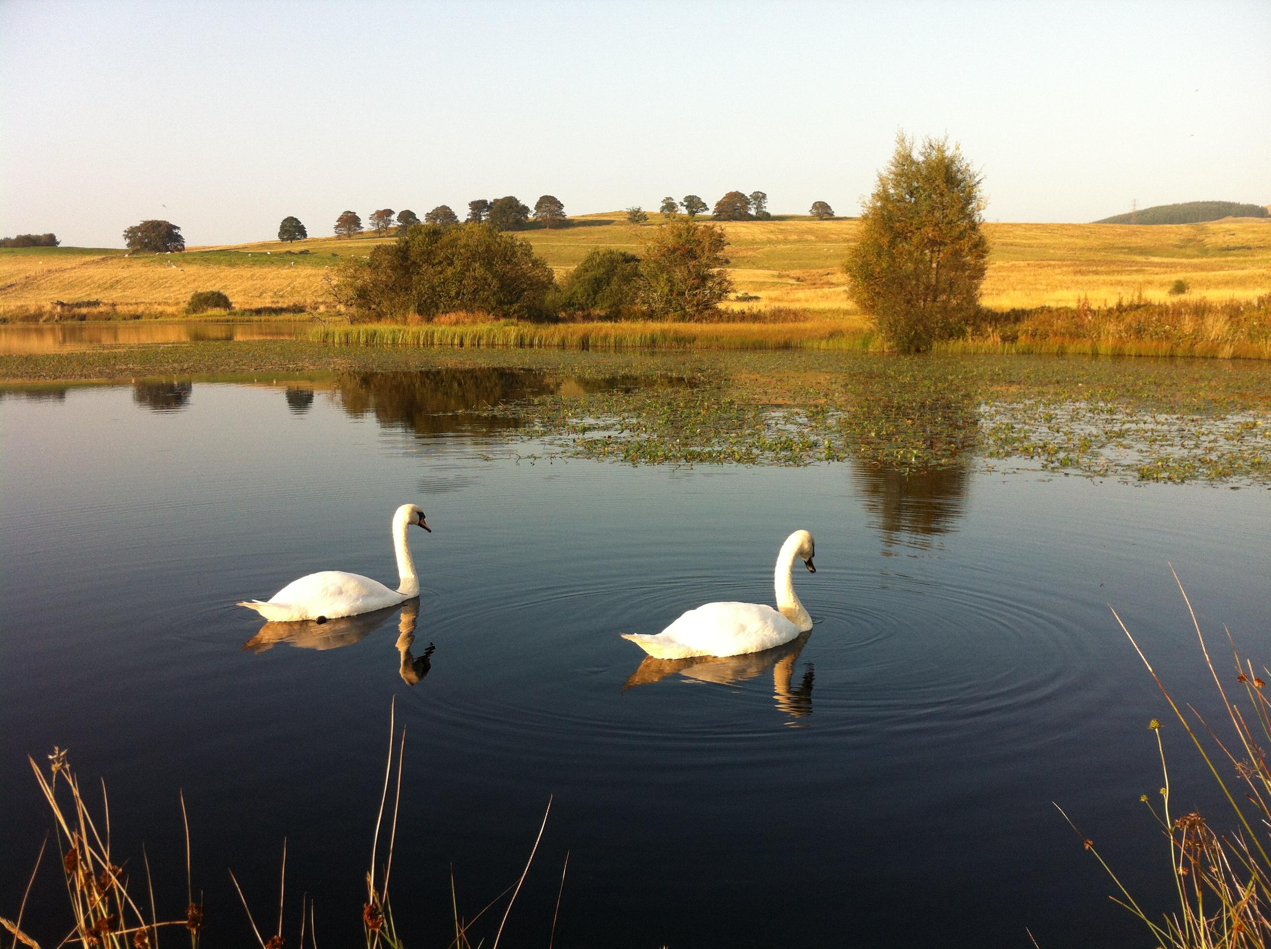 Four swans
