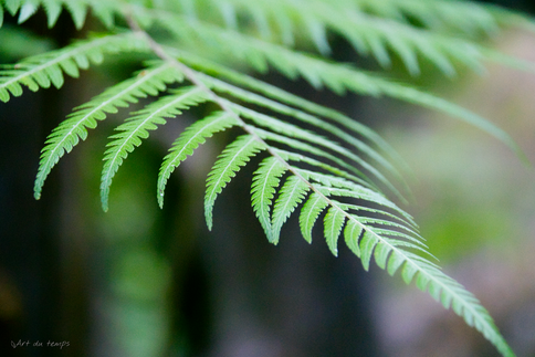 Fougère, Parc national Abel Tasman