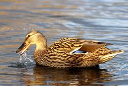 Duck, Brooklands