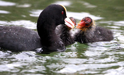 Coots at Swanbourne Lake