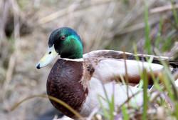 Mallard Duck, Brooklands