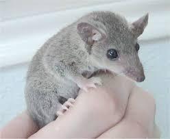 Short Tail Oppossum.jpg