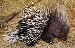 african crested porcupine 2.jpg
