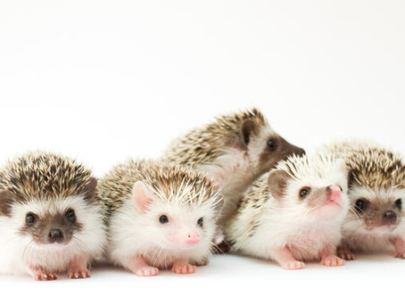 What is cute, comes in a variety of colors, and prickly all over?
