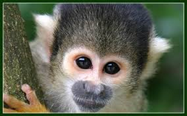 Squirrel Monkey.png