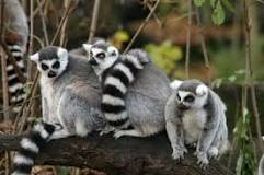 lemur 2.png